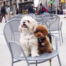 shichons haircut 30 best maltipoo and shichon images on pinterest maltipoo