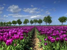 Tulip Field Purple Tulip Field In Holland Wide Wallpapers13 Com