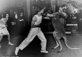 boxer dog in boxing gloves kangaroos pictured wearing boxing gloves and throwing punches