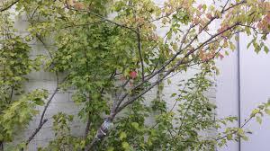 bonsai australian native plants ausbonsai view topic air layering a trident maple