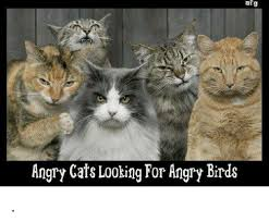 Angry Cat Memes - af g angry cats looking for angry birds angry birds meme on me me