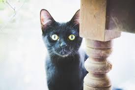 why are black cats a halloween symbol here u0027s the history behind