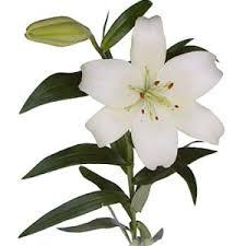 white lilly hybrid