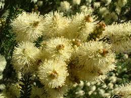 native tasmanian plants wildseed tasmania nursery plants and seed on 91 weston hill rd