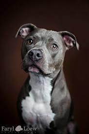 american pitbull terrier jumping best 25 red pitbull ideas on pinterest pitbull red nose