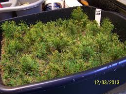dwarf alberta spruce growing them from cuttings and caring for them