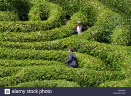 people lost in a laurel maze stock photo royalty free image