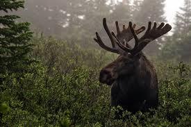 wallpaper moose animals 2560x1440