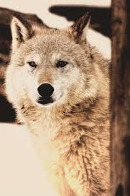 264 best dogs wolves images on pinterest animals military dogs