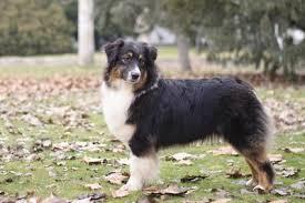 australian shepherd nbt bella marbleshore aussie kennel