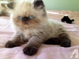 beautiful kittens for sale in troy pennsylvania 16947 classifieds buy and sell