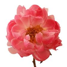 peony flower delivery coral flowers peony flowers may delivery coral flowers peony