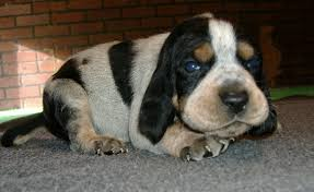 videos of bluetick coonhounds davis branch blueticks about us