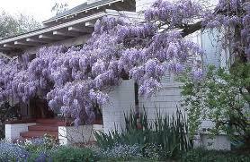 Purple Flower On A Vine - www thehoneytreenursery com