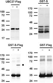 Flag Tag Substrates Related To Chromatin And To Rna Dependent Processes Are