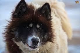 american eskimo dog facts canadian eskimo dog dog breed information buying advice photos