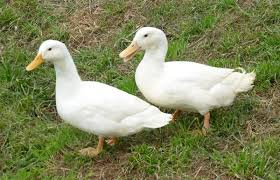 where to buy duck where to buy duclair ducks efowl