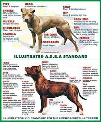 american pitbull terrier 1 a history of the american pit bull terrier u0026 the evolution of the