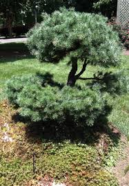 pruning for betty japanese maples topiaries and bonsai