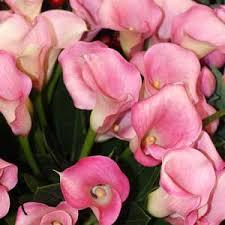 calla lilies zantedeschia nurseriesonline