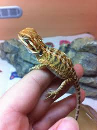 5 red citrus baby bearded dragons cannock staffordshire