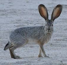 California wildlife images Northern california rabbits and hares jpg