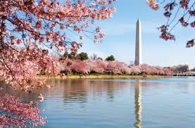 cherry blossom in washington d c bus tour bus 1