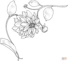 dahlia u0027beauty of hastings u0027 coloring page free printable