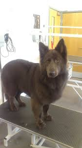 belgian shepherd x husky view topic pawesome dog rescue shelter open and accepting