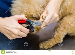 vet trim cut dog nails at clinic stock photo image 77809936