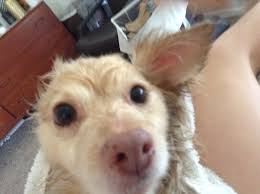 this little dog has no idea how cute she looks when she u0027s wet