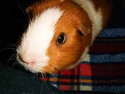 the good the bad and the ugly of guinea pig dry foods pethelpful
