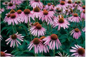 Echinacea Flower Echinacea Purpurea Seed Johnny U0027s Selected Seeds
