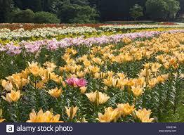Lily Flower Garden - ichihasama lily garden lily flower field flower pattern stock