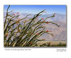 anza borrego desert wild about wildflowers in san diego u0027s east county
