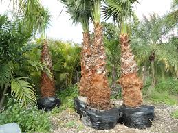 era nurseries buy trees online wholesale australian native mexican fan palms washingtonia robusta on beach key biscayne