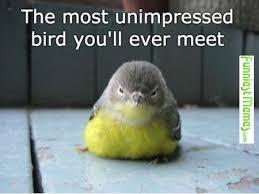 Unimpressed Meme - funniest memes the most unimpressed bird you ll ever