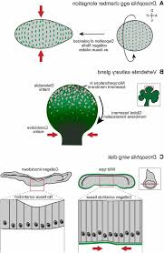 function of basement membrane basement ideas