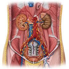 Picture Of Abdomen Anatomy Lymphatics Of Abdomen And Pelvis Anatomy Study Guide Kenhub