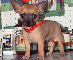 short haired chorkie short haired chihuahua chihuahua dog breed guide information and