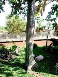eucalyptus deglupta rainbow eucalyptus mindanao gum rainbow