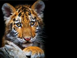 october 17 2017 page 13 cub cubs tiger animals tigers image of