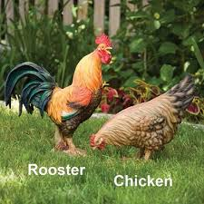 27 best chicken yard images on yard chicken