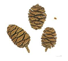 giant sequoia sequoiadendron giganteum female cones click on