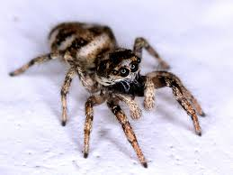 halloween jumping spider here come the jumping spiders fifteeneightyfour cambridge