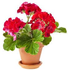 Indoor Fragrant Plants - add some color 5 cheery easy to grow indoor flowering plants