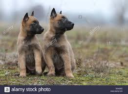 belgian sheepdog for sale uk malinois puppies stock photos u0026 malinois puppies stock images alamy