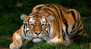 tiger hd wallpapers this wallpaper