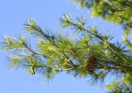 white pine trees west pine us forests shifting with climate change