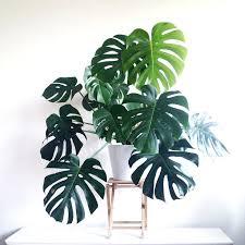 biggest house plants giant indoor plants share giant indoor house plants cursosfpo info
